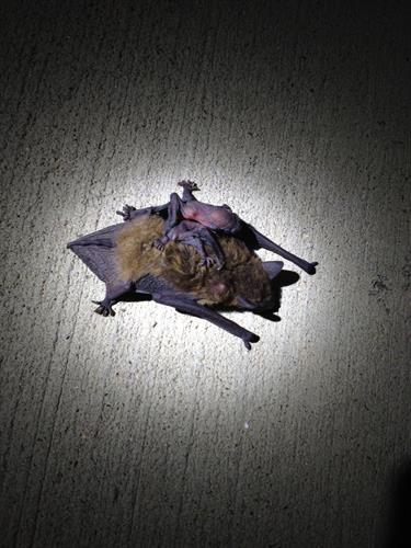 baby bat on moms back