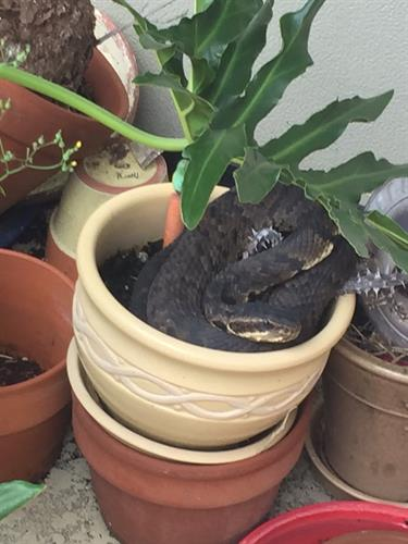 Cottonmouth hiding in a flower pot