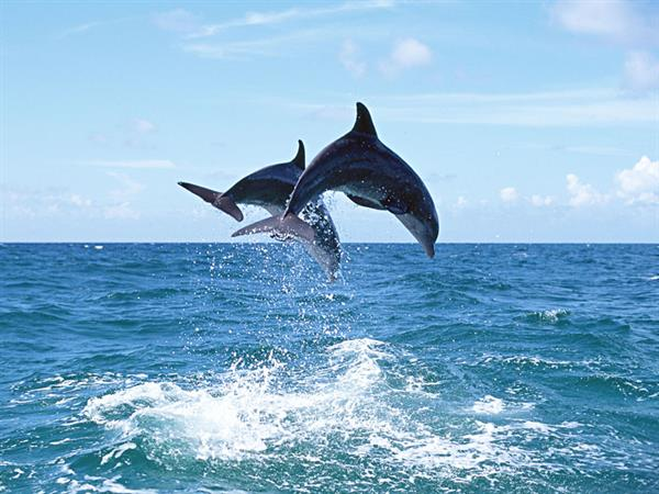 Gallery Image h-Dolphins.jpg