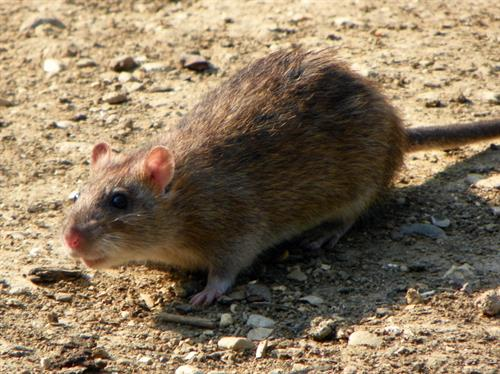 Gallery Image brown_rat.jpg
