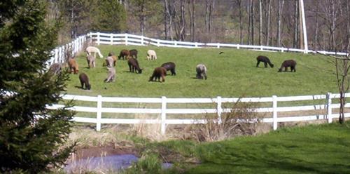 The herd in front pasture