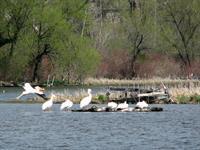 Lake WI. Pelicans