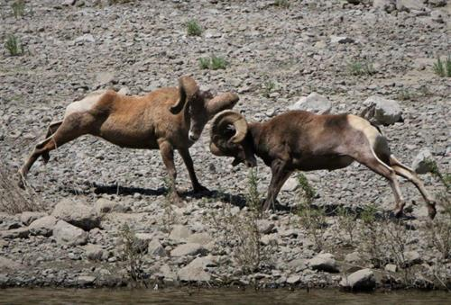 Big Horn Sheep - Wildlife in Hells Canyon