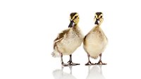 Gallery Image S711-2_Just_Ducky.jpg
