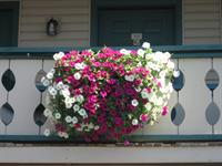 Petunias hanging from balcony