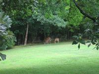 Deer in back yard