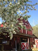 The Barn in Spring