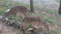 5 Ojo deer