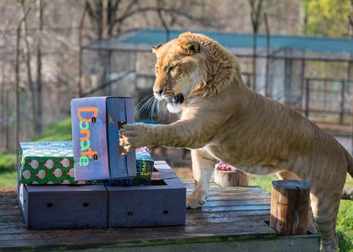 Brady (liger) enjoying cardboard enrichment at Turpentine Creek Wildlife Refuge in Eureka Springs, Arkansas.