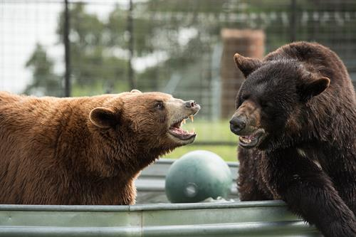Thunder and Harley (black bears) enjoying social enrichment at Turpentine Creek Wildlife Refuge in Eureka Springs, Arkansas.