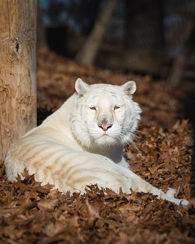 Mama Shakira (white tiger) enjoying her habitat at Turpentine Creek Wildlife Refuge in Eureka Springs, Arkansas.