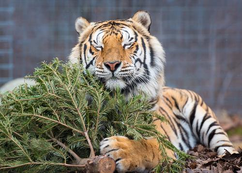 Montana (tiger) enjoying holiday tree enrichment at Turpentine Creek Wildlife Refuge in Eureka Springs, Arkansas.