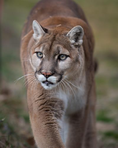 Nala (cougar) enjoying her habitat at Turpentine Creek Wildlife Refuge in Eureka Springs, Arkansas.