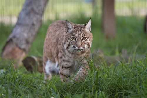 Sadie (bobcat) enjoying her habitat at Turpentine Creek Wildlife Refuge in Eureka Springs, Arkansas.