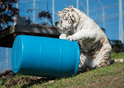 Snowball (white tiger) enjoying barrel enrichment at Turpentine Creek Wildlife Refuge in Eureka Springs, Arkansas.