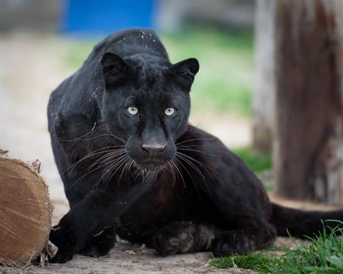Spyke (black leopard) enjoying his habitat at Turpentine Creek Wildlife Refuge in Eureka Springs, Arkansas.