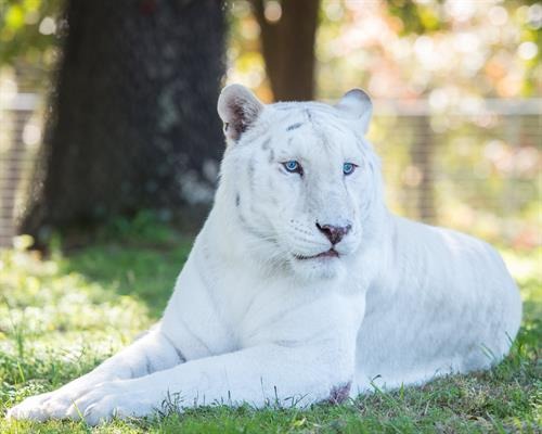 Thurston (white tiger) enjoying his habitat at Turpentine Creek Wildlife Refuge in Eureka Springs, Arkansas.
