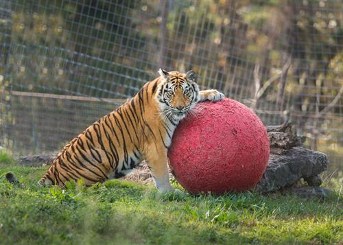 Whitney (tiger) enjoying Boomer Ball enrichment at Turpentine Creek Wildlife Refuge in Eureka Springs, Arkansas.