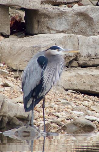 Blue Heron - Wildlife Photography