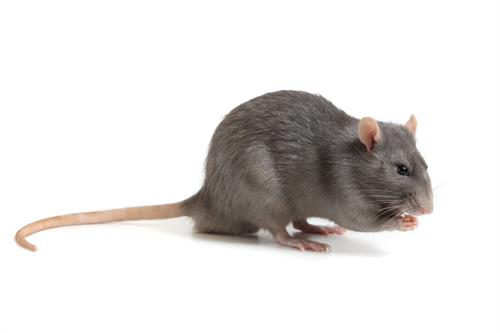 Roof rats cause financial damages while spreading disease - trust the experts at Certech to protect your structure