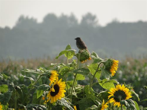 Gallery Image Bird_on_a_sunflower-_Di.JPG