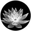 No Lotus Design