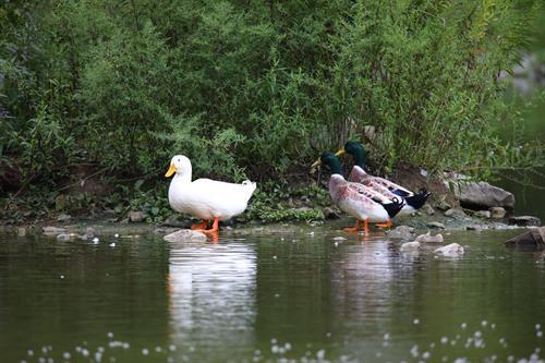 Pekin and Mallard ducks at Hopewell Community Park