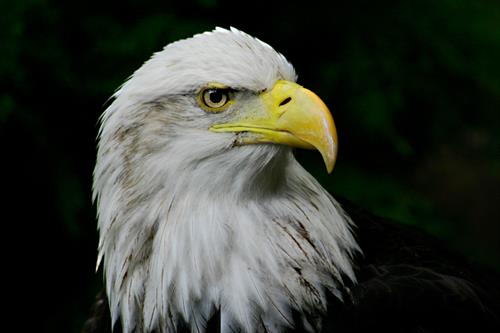 Bald Eagle at the National Aviary In Pittsburgh, PA
