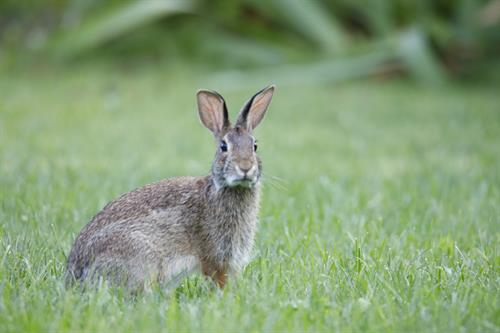Cottontail rabbit in Moon Township