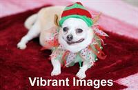 Holiday doggie