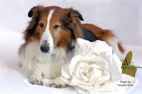 Sheltie with flower