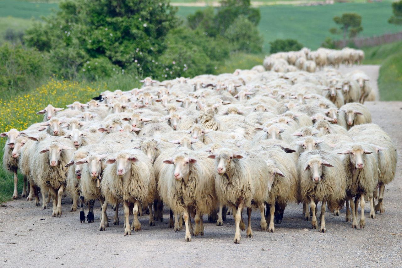 Challenge the Herd