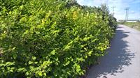 The invasive species Japanese knotweed
