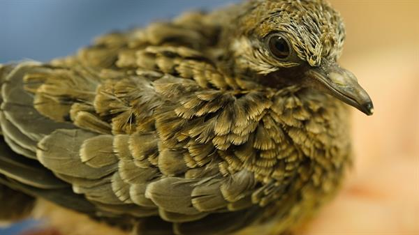 Orphaned fledgling mourning dove