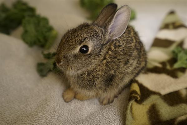 Young brush rabbit