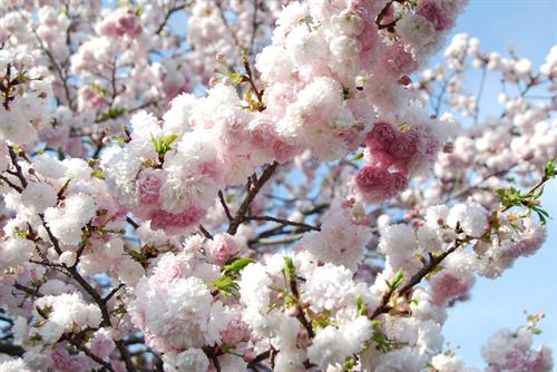 World famous Japanese cherry blossoms in full bloom