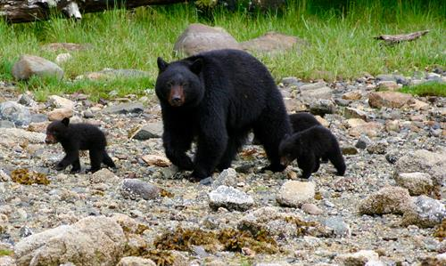 Gallery Image Clayoquot_Wilderness_Resort_Black_Bear_Mother_and_Cubs_5x3.jpg