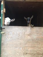 Our silly goats :)