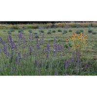 Lavender Fest III, June 20, 2020 - Summer long - but smaller