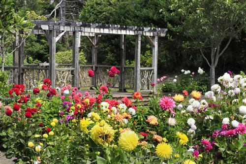 he Gardens' collection of dahlias consists of more than 400 individual plants representing 150 varieties.