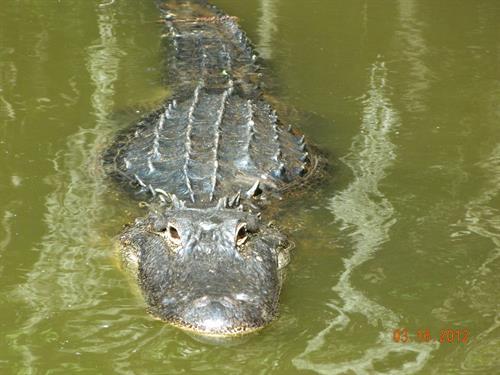 Gallery Image Alligator_1.JPG