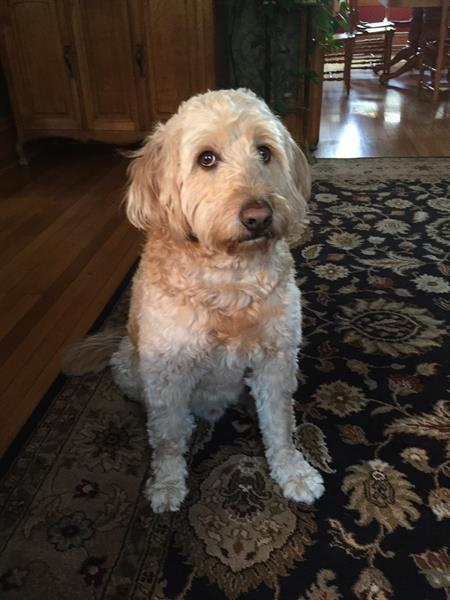 Miles, the resident Goldendoodle. He will greet you at the door.