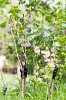 Fruit Tree Grafting and Orchard Care