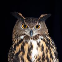 Live Owl Programs 11:00 & 2:00