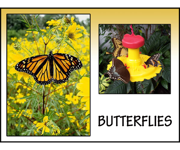 Attract Multiple Butterflies!