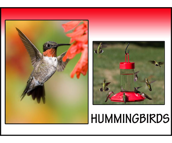 Amazing Hummingbirds!