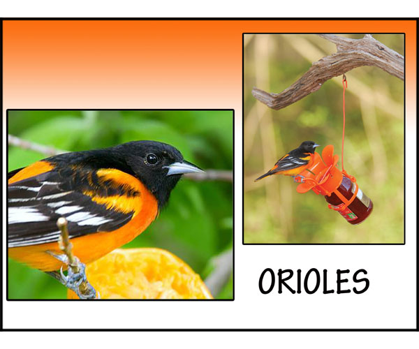 Awesome Orioles!