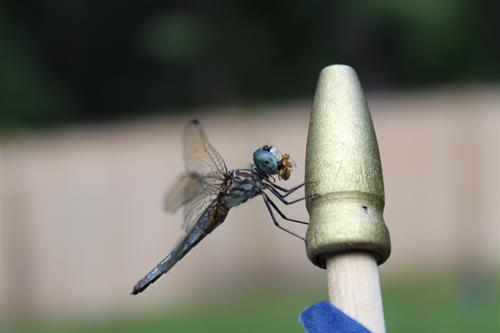 Dragon Fly on American flag eating its lunch