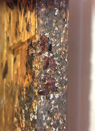 Bed bugs on bed frame platform