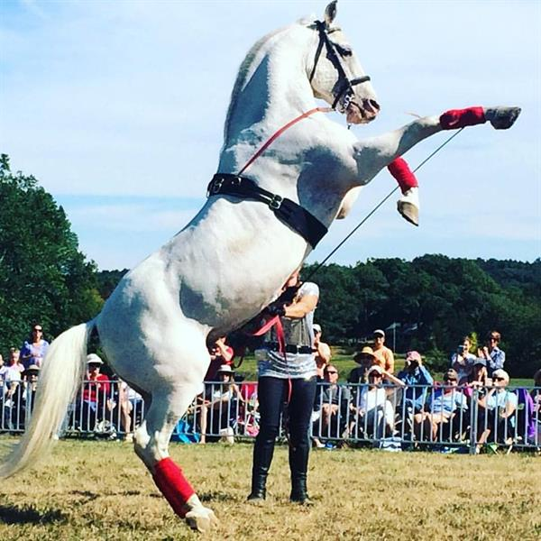 Herrmann's Royal Lipizzan Stallions performing at Cogswell's Grant